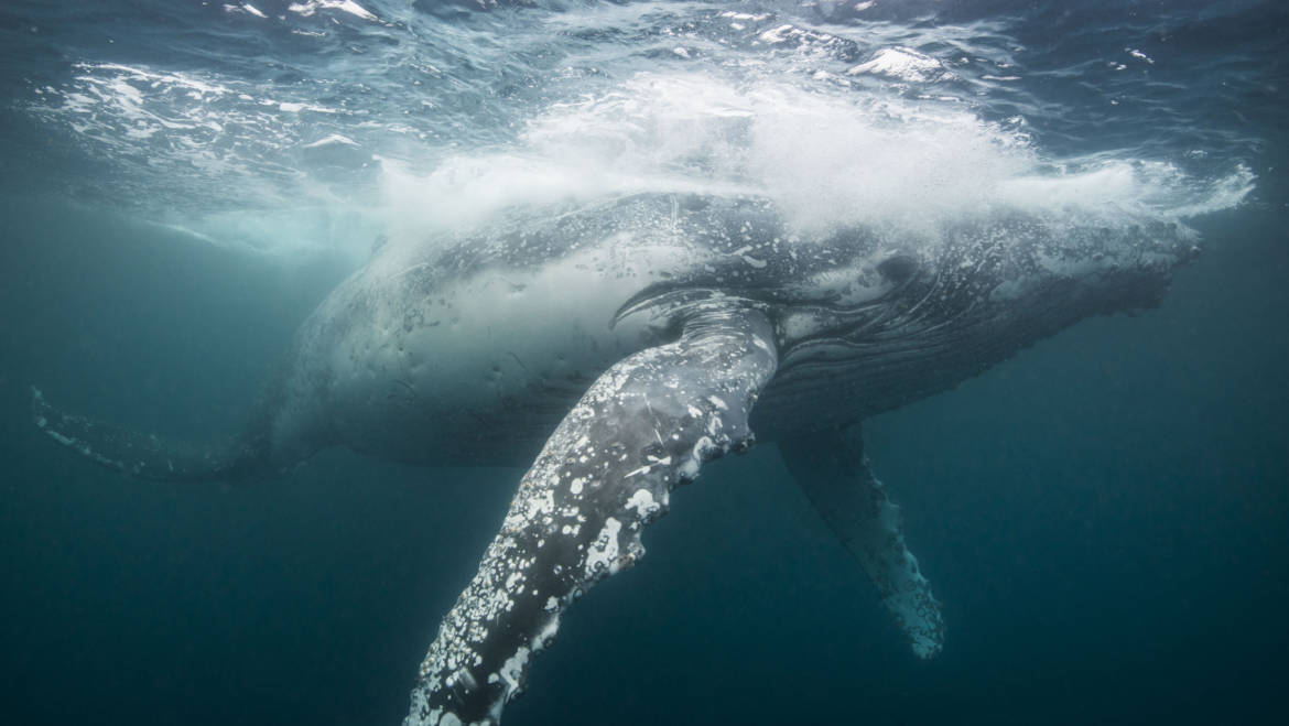 Riding with Humpback Whales in the equator